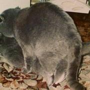 Коты племенные разных пород для вязок. фото