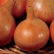 Лук репчатый, овощи. фото