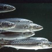 Жир ветеринарный из рыбы и морских млекопитающих фото