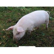 Поставка свинины из Вильнюса фото
