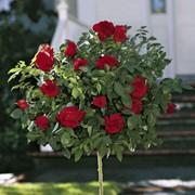 Розы штамбовые, 15 сортов фото