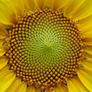 Семена подсолнечника СУР сорт ультраранний фото