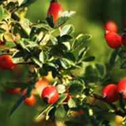 Шиповник лечебный (дикая роза) фото