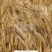 Пшеница четвертого класса фото