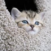Британские котята с родословной и без фото