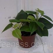 Филодендрон лазящий -- Philodendron scandens фото