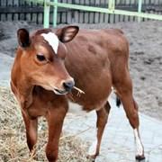 джерсийский бычок на племя фото