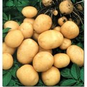 Картофель различные сорта фото