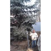 Пересадка деревьев в алматы фото
