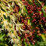 Семена Проса - ЭС фото