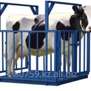 Весы для взвешивания животных, весы для взвешивания скота фото