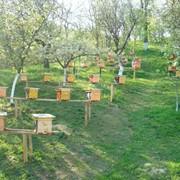 Распродажа чистопородных пчеломаток июль месяц фото
