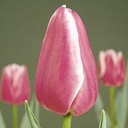 Тюльпаны на 8-е Марта (Leo visser) фото