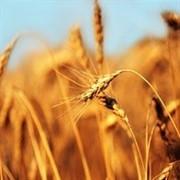 Купим пшеницу 5 класса фото