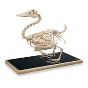 Модель скелета утки (Anasplatyrhynchos) фото