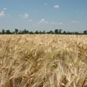 Закупаем зерновые, сою и семечку. Самовывоз из хозяйств. фото