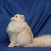 Bella cathouse (питомник персидских кошек) фото