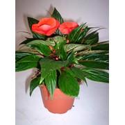 Бальзамин orange фото