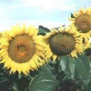 Семена подсолнечник Донской крупноплодный фото