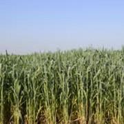 Семеноводство сельскохозяйственных культур, Украина фото