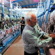 Sala de muls oi in paralel фото