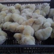 Суточные цыплята бройлеров фото