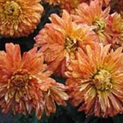 Хризантема красная пестрая фото
