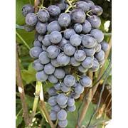 Выращивание лучших сортов столового винограда. Столовый сорт винограда Восторг. фото