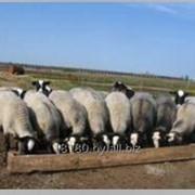 Молодняк племенных овец романовской породы фото