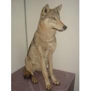 Чучело волчицы сидячей фото
