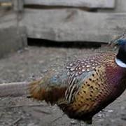 Фазаны. Продажа фазанов для Вас, как мяса фазана, так и взрослых петухов и куриц фото