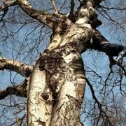 Спиливание деревьев.Удаление опасных и аварийных деревьев. фото