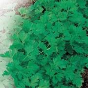 Семена петрушки листовой, Семена петрушки листовой в Казахстане фото