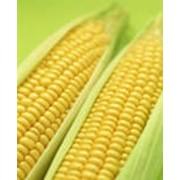 Семена кукурузы НС 6010 Нови Сад Сербия фото