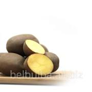 Сорт картофеля Манифест 1 репродукции фото
