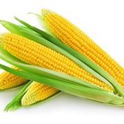 Гибрид кукурузы Гран 6 (ВНИС) фото