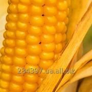 """Семена кукурузы """"ВН 63"""" фото"""