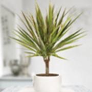 Драцена Bicolor ( Dracaena Bicolor ) фото