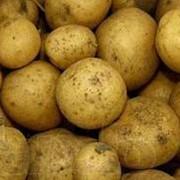 Картофель в Астане, картофель оптом в Астане фото