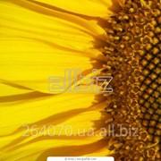 Закупка семечки подсолнечника крупным оптом фото