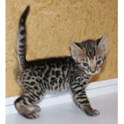 Предлагает чудесных мини - леопардиков. фото