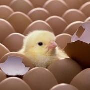 Инкубационное яйцо куриное Цветной бройлер фото