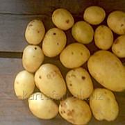 Картофель продовольственный фото