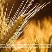 Зерноочистка, зерносушка фото