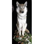 Чучело волка ,Киев фото