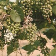 Агрономическая модель для Виноградника фото