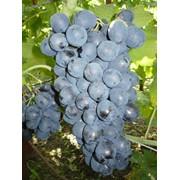 Виноград сорт Ришелье фото