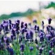 Масло лавандовое эфирное фото