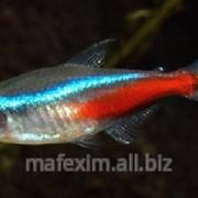 Рыбка неон фото