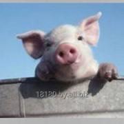 Спермопродукцию хряков пород: дюрок, йоркшир, ландрас фото